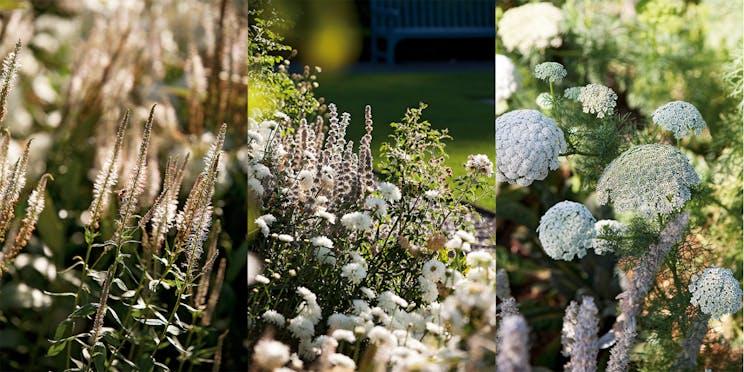 Left: Veronicastrum virginicum 'Diane' Centre: Leucanthemum 'H.M. Allsop' Right: Ammi visnaga